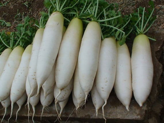 Long White Icicle Radish Seeds Seeds Radish White Icicle