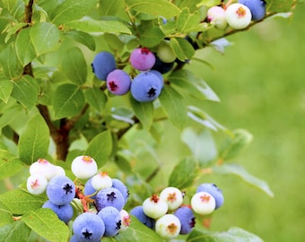 Blueberry Photography, Blueberries, Fruit Print, Blueberry Plant, Fine Art Photography, Nature Wall Art