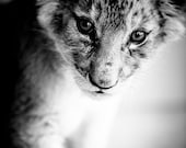 Lion Cub Fine Art Photography - Wildlife Art - Modern Wall Art - Black and White Photo - Monochrome Wild Animal - Baby Animal Room Decor