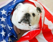 Independence Day 4th of July Dog Photo - English Bulldog wearing a vinyl party banner - Patriotic Piper Stone the one-eyed bulldog - 5x7