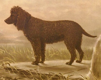 Irish Water SPANIEL ANTIQUE Chromolithograph Dog Print 1881 by Vero Shaw Cassells and Company Unique Birthday Christmas Thanksgiving gift