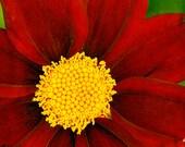 Coreopsis Mercury Rising, Fine Art Photography, Flower Photography, Floral Photography