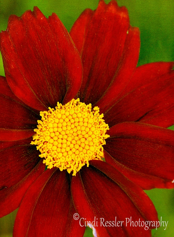 Coreopsis Mercury Rising, Photography,  Floral Photography, Flower Photography, Botanical, Fine Art Photography, Garden Photography
