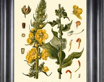 BOTANICAL PRINT Kohler 8x10 Botanical Art Print 4 Beautiful Yellow Wildflower Flower Chart Nature to Frame