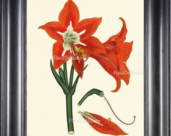 BOTANICAL PRINT ANDREWS 8x10 Botanical Art Print 34 Antique Red Amaryllis Plant Large Blooming Flower to Frame