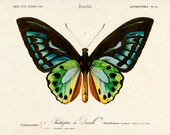 Butterfly Art Print, Beautiful Butterfly Poster, Butterfly Wall Art, Natural History Giclee Print, Nature Print, Gift for Her