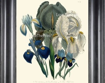 BOTANICAL PRINT Loudon Flower  Botanical Art Print 18 Beautiful Antique Blue Purple Iris Spring Garden
