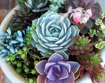 Succulent Plant.   DIY Complete Dish Garden Kit With White Or Moss Green  Planter.