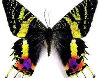 Moth Madagascan sunset moth (Chrysiridia rhipheus) 20 x 1.75 wholesale prices = 35.00