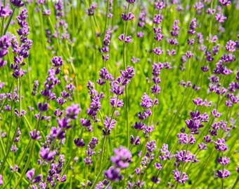 Flower Photography - Lavender Fields - Winery - Sonoma, CA - 8x10 Fine Art Photograph - Kitchen Wall Art