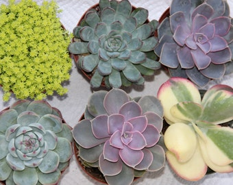 "2 LARGE SUCCULENT PLANTS 4"" containers"