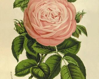 Antique Rose art  flower art Botanical Art Prints art print poster antique print rose print French art print Victorian art Garden Wall Decor