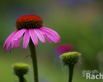 Pink Coneflower. Photo of a coneflower with two buds. Flowers, floral, nature, pink, grass, green, red, purple. Limited edition gallery wrap