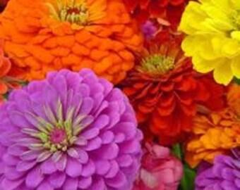 zinnia flower mix seeds,109, zinnia elegans mixed,gardening, spring flower seeds,