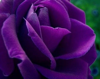 Purple rose seeds,4,roses seeds,gardening,  roses from seeds,planting roses,growing roses from seeds,seeds for roses