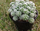 Cactus Plant, Mammillaria aka Thimble Cactus