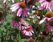 Echinacea purpurea SEED Packet