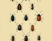 Beetle art  Antique  Prints Nature print Vintage prints home decor wall art Natural History Victorian art old prints Bug art print