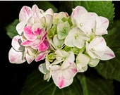 flower photograph flower photography fine art photography nature print wall decor, Hydrangea pink and white heart
