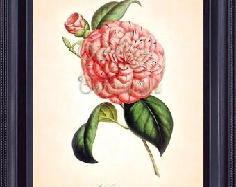 HOUTTE Botanical Print 8x10 Vintage Art Bright PINK Camellia Antique Engraving Large Flower Nature Summer Garden Wall Decoration  BF0610