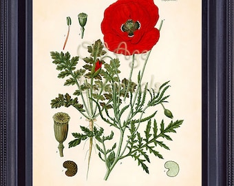 Botanical Print KOHLER 8x10 Papaver Rhoeas Red Poppy Vintage Art Plate Wild Field FLower Seeds Summer Plant Nature Room Wall Decor BF0702
