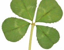 Real Four Leaf Clover from White Clover Plant Trifolium Repens (Pack of 5) for Crafts, Card Making, Embellishments, Jewellery Making etc
