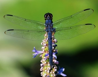 "Dragonfly: 7'x10"" archival print signed & matted in 11""x14"" matte (larger sizes available on request)"