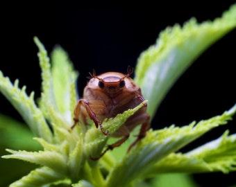 Oriental Beetle 12x18 print