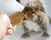 Facebook Cover Page - Helping Hand / Eastern Gray Squirrel  - Proceeds Go To Animal Welfare Society in West Kennebunk, ME - FocusOnWildlife