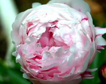 Pink Peony Flower Print #0334 Full Color, Fine Art