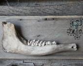 Found Deer Jawbone