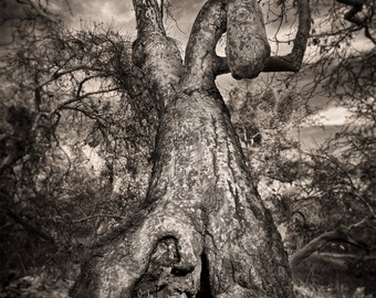 Tree Photo Art, California Woodlands Photo, Surreal Abstract Black & white Tree, Trabuco Canyon Photo, Abstract Sycamore Tree Photo Art