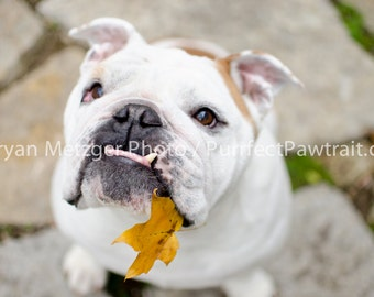 Leaf Lips English Bulldog Print, Fine Art Photography Print, Purrfect Pawtrait Pet Photography, Animal Photography