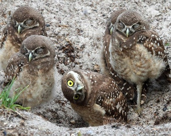 Burrowing Owl Photography, Sibling owls sibling one awake, brown art