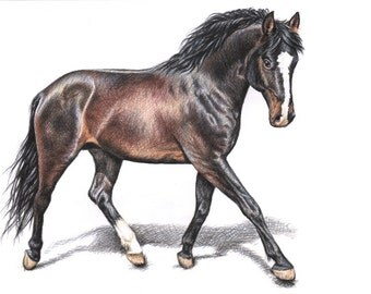 Hannoverian Horse - Fine Art Print