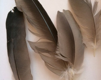 Grey Black feathers