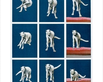 Muybridge - White Cat Falling art print in choice of sizes