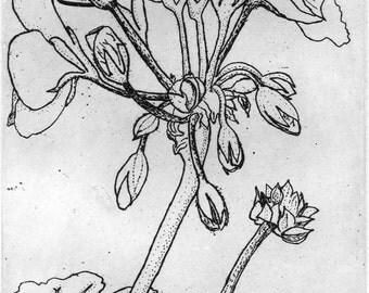 Geranium   -  Original Etching & Engraving, Hand-printed, Limited Edition