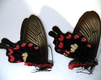 Unmounted Butterflies Pachliopta Aristolochiae Pair From Kangean Island.