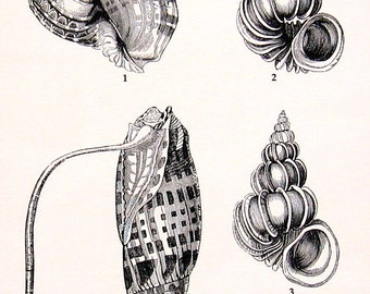 Shells Print - Vintage 1979  Book Page - Black and White
