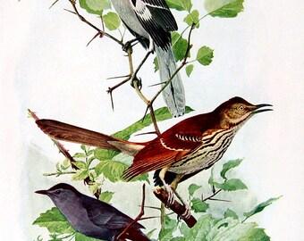 Mockingbird, Catbird, House Wren, Carolina Wren - Fuertes Bird Print - 1936 Vintage Book Page - 8 x 11