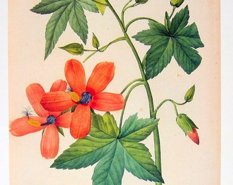 Redoute print - Hibiscus Tree Mallow - 1979 Vintage Flowers Book Plate p142