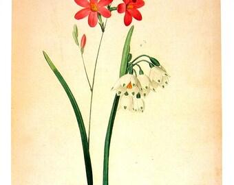 Ixia a fleurs de Phlox - Redoute 1979 Vintage Flowers Book Print  p68