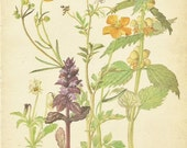 Flower Print - Meadow Buttercup - Vintage Botanical Book Plate Print - Bitter Cress - Diary of Edwardian Lady - Edith Holden - 1906