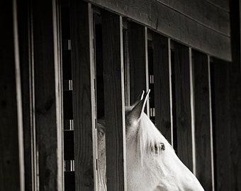 Horse Photography, White Horse, Horse Picture, Horse in Barn, Equine Art, 8x10 Horse Print