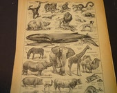 French Lithograph - Mammals - 1920s engraving - original page Petit Larousse Dictionary