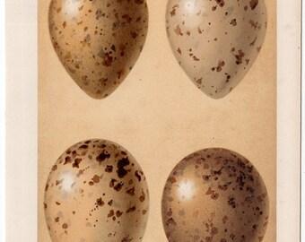 1901 BIS BIRD EGG lithograph original antique print of  eggs of the Pomatorhine skua birds