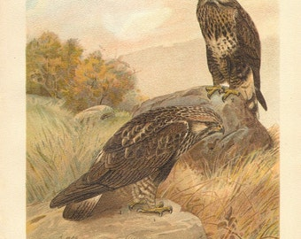 1903 Original Antique Lithograph of the Rough-legged Buzzard