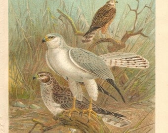 1903 Pale or Pallid Harrier Original Antique Lithograph to Frame