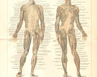 1904 Muscles of the Human Body Original Antique Lithograph